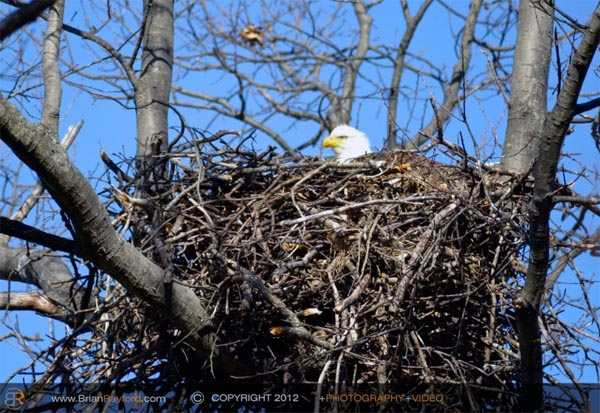 Bald Eagles nesting in Piney Run.